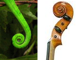 Chameleon's tail and violin scroll