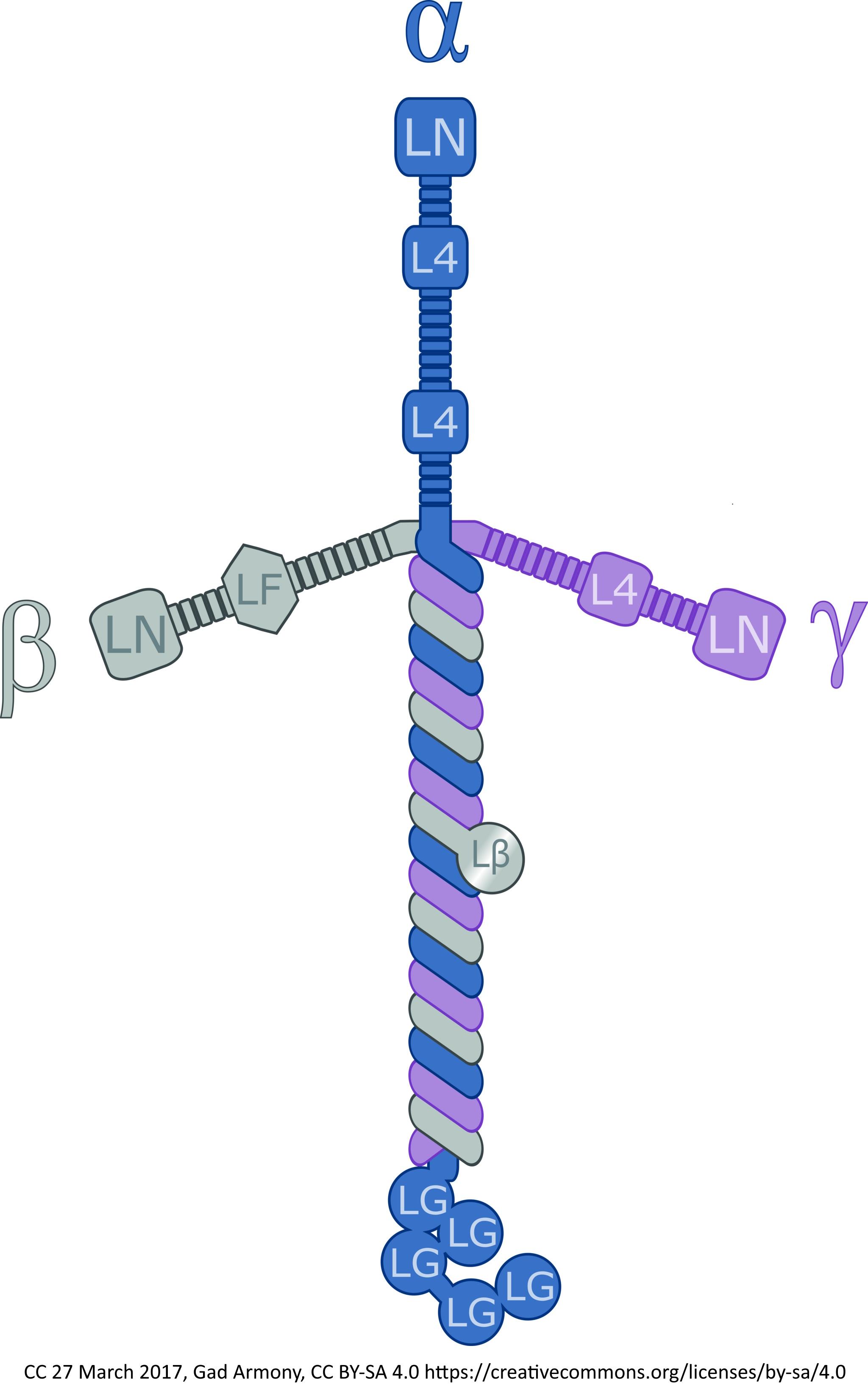 laminin cross rh seiyaku com Where to Get a Laminin Cross laminin molecule structure