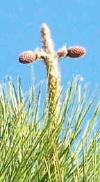 Pine Tree Cross